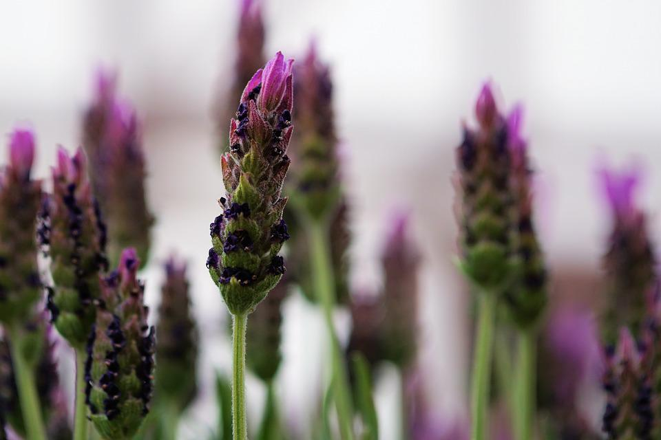 free photo lavender, flower, lavender flowers  free image on, Beautiful flower