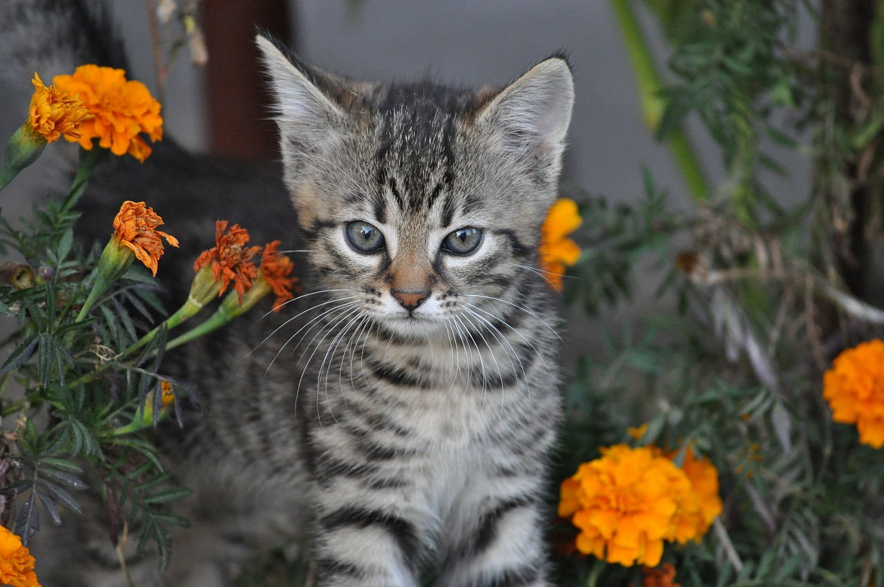 when to get your male cat neutered
