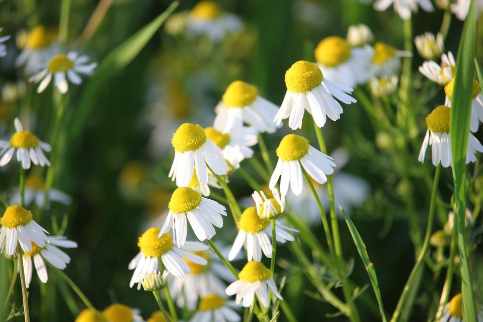 Matricaria Chamomilla, Bylina, Květina, Lékařské