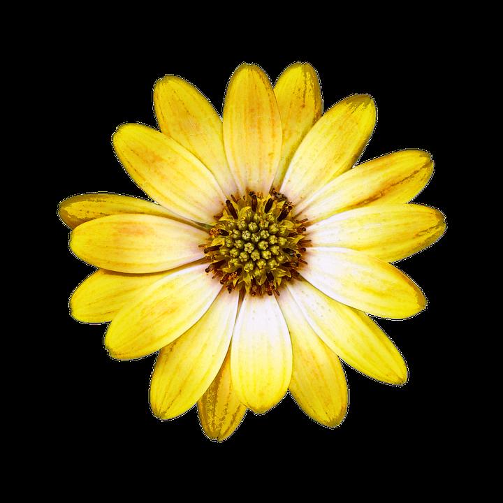 blossom bloom bornholm marguerite  u00b7 free image on pixabay