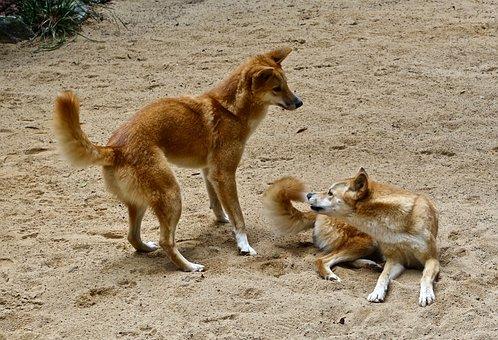 Dingo, Wild, Australian, Dog, Predator