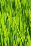 grass, meadow, grasses