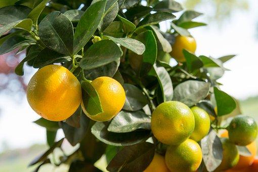 Calamansi, Calamondin, Citrus Fruit