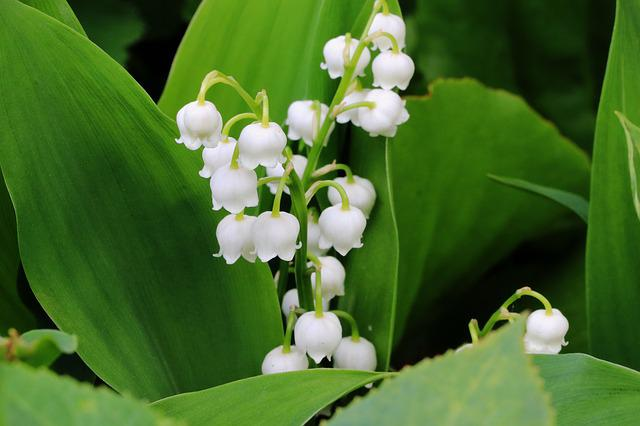 Free photo lily of the valley flower spring free for Bouquet de fleurs muguet