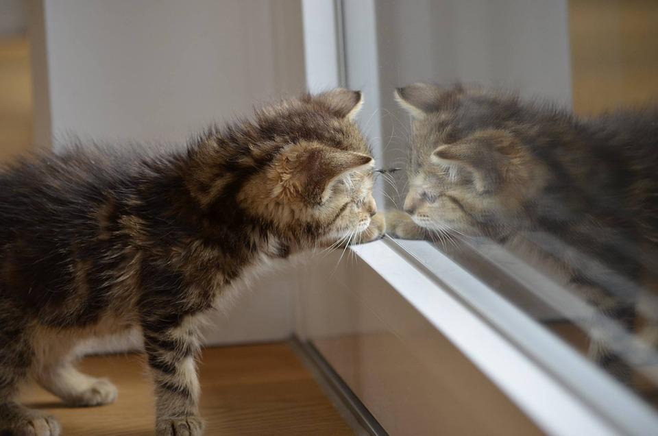 Gato, Espelho, Gatinho, Animais, Natureza, Gato Bebé