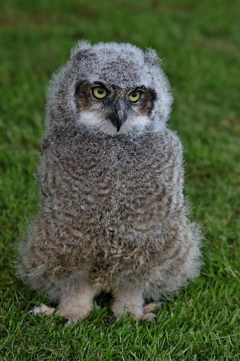 Image of: Funny Owls Owl Fluffy Baby Owl Cute Bird Pixabay Owl Fluffy Baby Free Photo On Pixabay