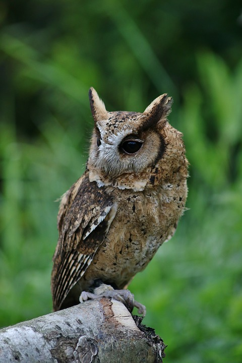 Image of: Animals Owl Small Owl Cute Bird Pixabay Owl Small Cute Free Photo On Pixabay