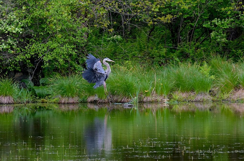 blue heron bird water  u00b7 free photo on pixabay