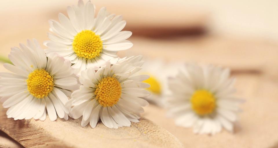 デイジー, ありがとう, ロマンチックな, ロマンス, 白, 愛情, 感情, 愛, 装飾, 運, デコ