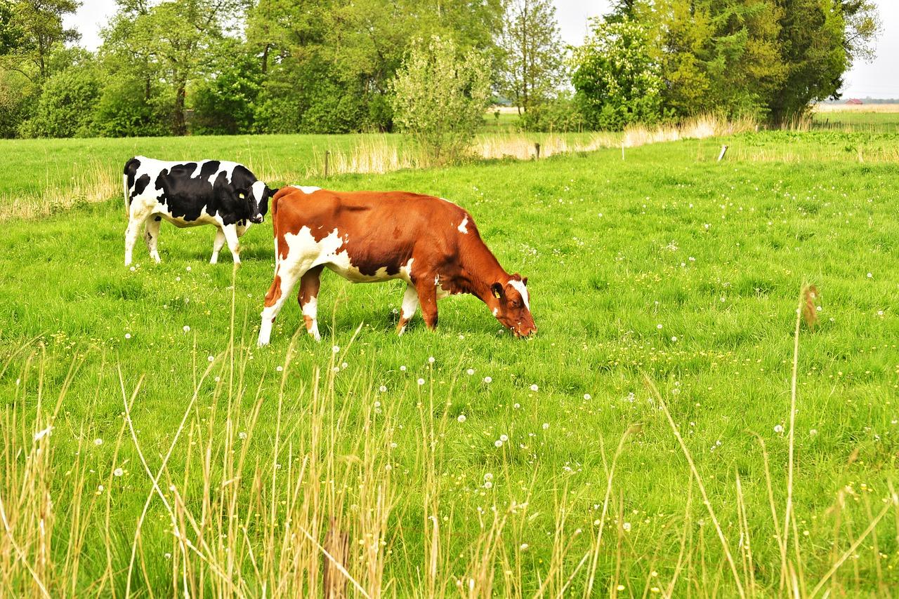 Картинки коровы пасутся