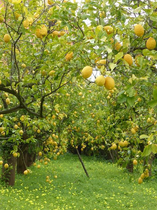 Lemon trees lemons grove free photo on pixabay for Lemon plant images