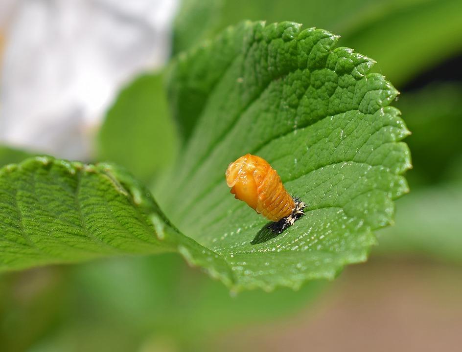 Ladybug Pupa Leaf Underside Free Photo On Pixabay
