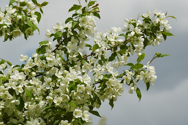 деревьев яблоня цветущих картинки
