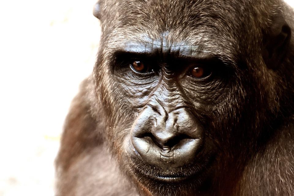 Gorila, Macaco, Animal, Jardim Zoológico, Peludo