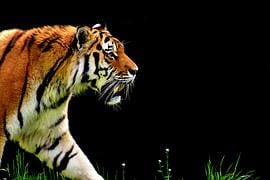 Tiger, Predator, Fur, Beautiful