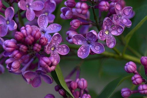 Lilas, Fleur, Printemps, Plantes, Humide