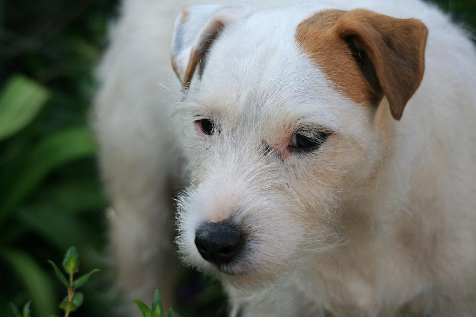 Bianco Jack Russell Cane Terrier Cane White