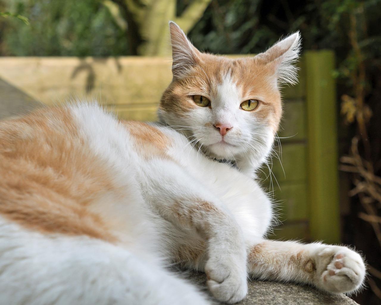 Дорогому, картинки кошек рыжих с белым