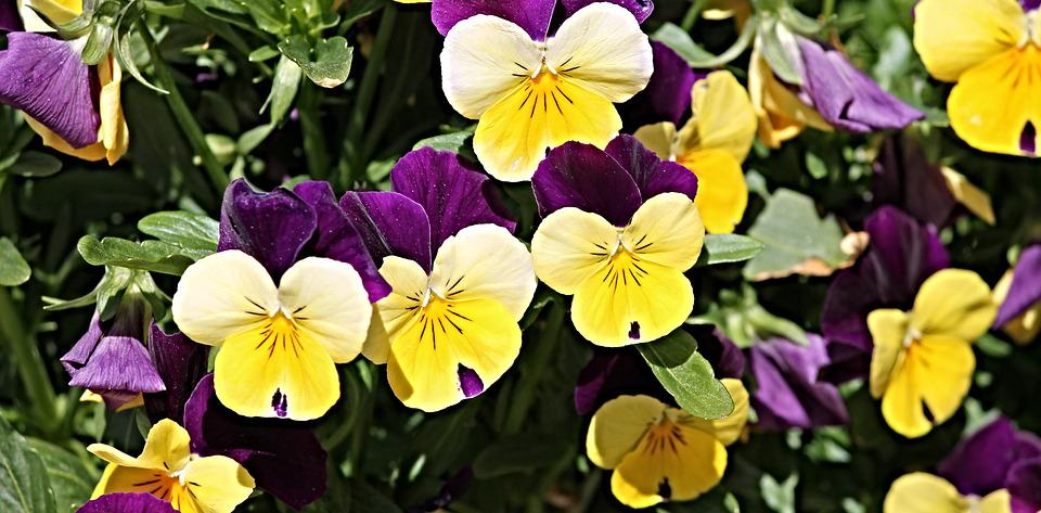 Pansy flower garden flowers free photo on pixabay pansy flower garden flowers pink white garden mightylinksfo