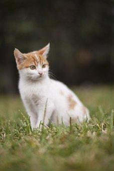 Cat, Animal, White, Animals, Kitten