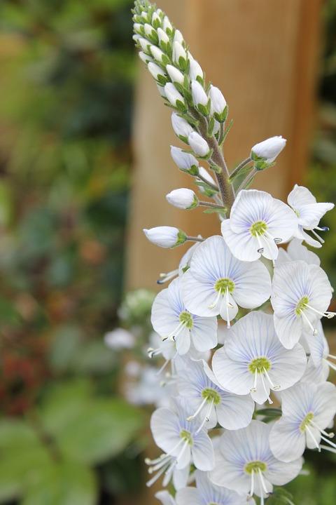 Veronica flower speedwell free photo on pixabay veronica flower speedwell white petals perennial mightylinksfo