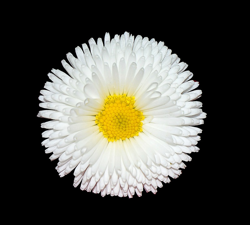 daisy, backgrounds, textures  free images on pixabay, Natural flower