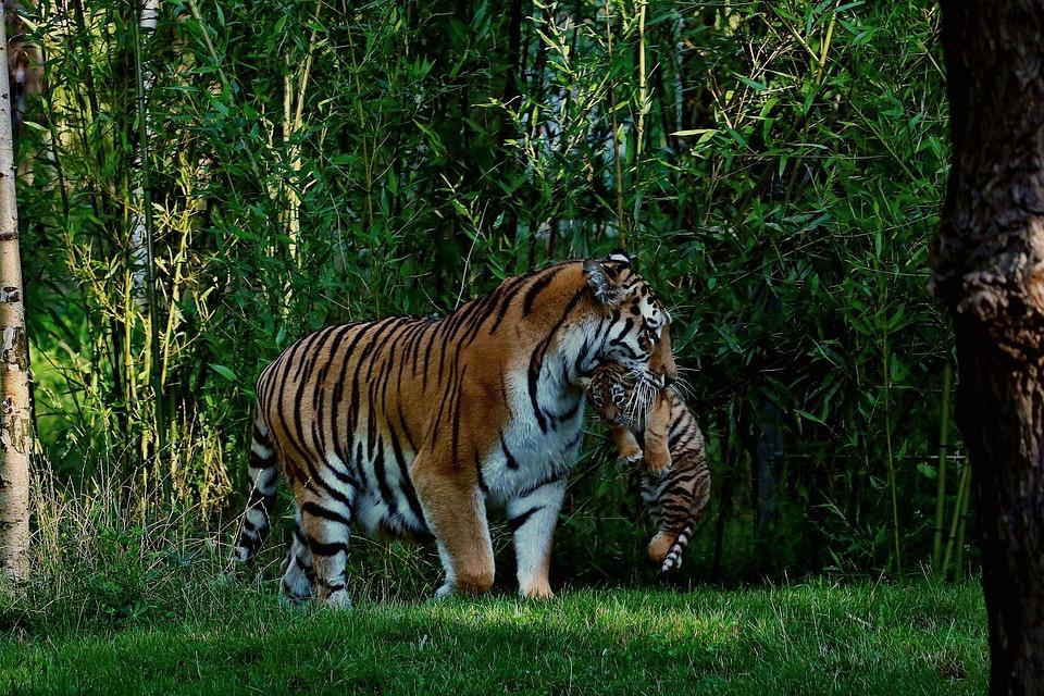 Bien connu Photo gratuite: Tigre, Bébé Tigre, Mère Et Enfant - Image gratuite  WP94