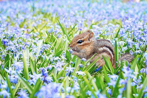 Chipmunk, Spring, Field, Meadow, Flowers