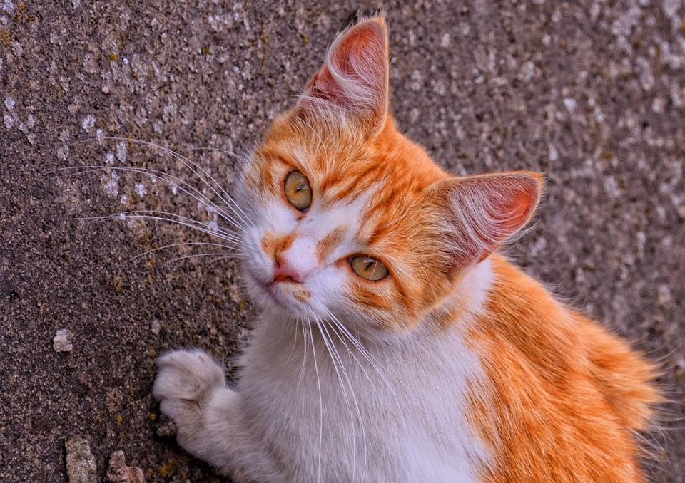 Новогодними, картинки кошек рыжих с белым