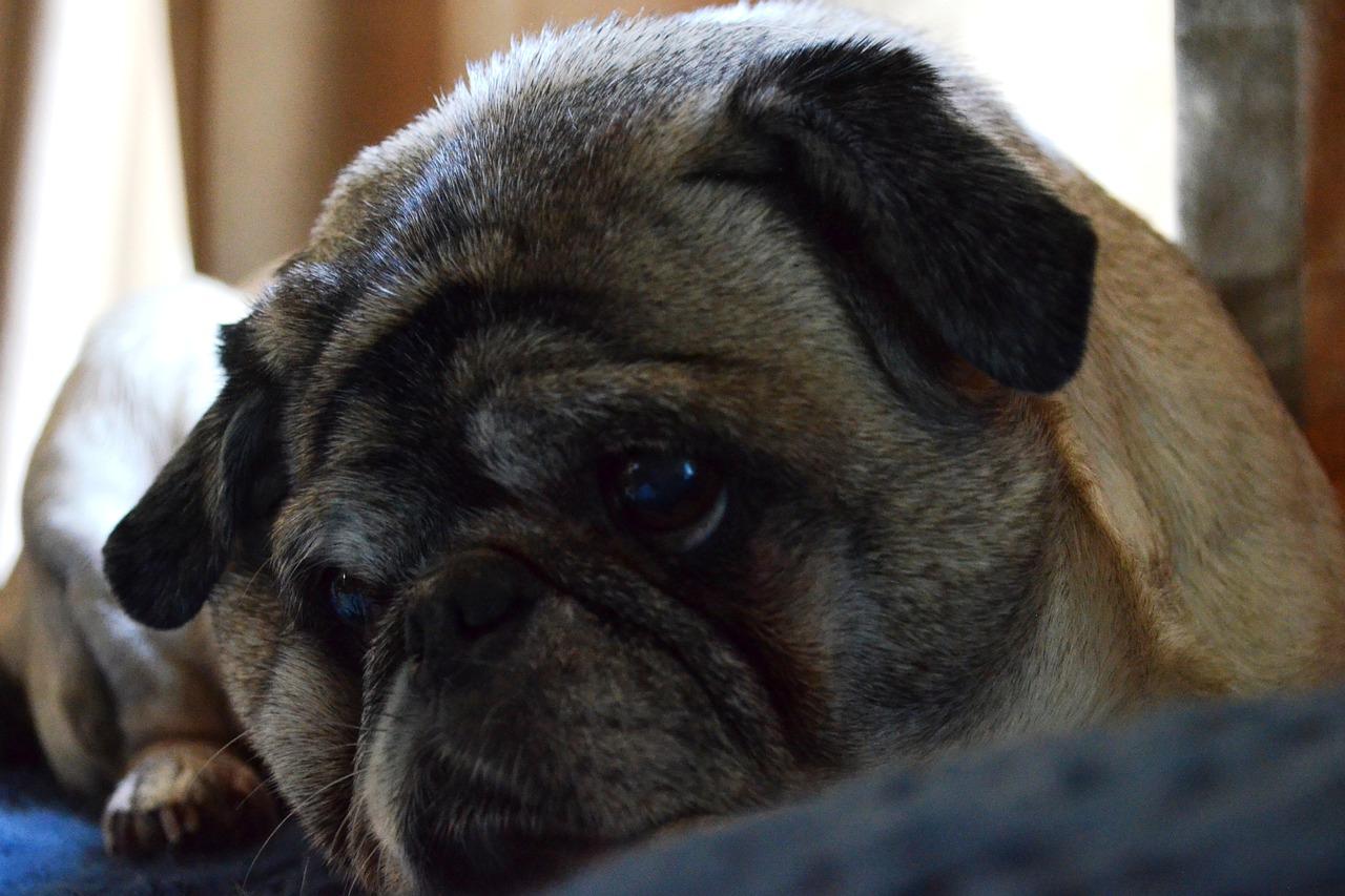 Мопс печальный взгляд фото