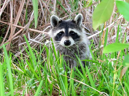 Raccoon, Animal, Wild Animal, Mammal