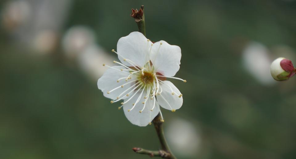 White plum blossom flower free photo on pixabay white plum blossom flower spring macro mightylinksfo
