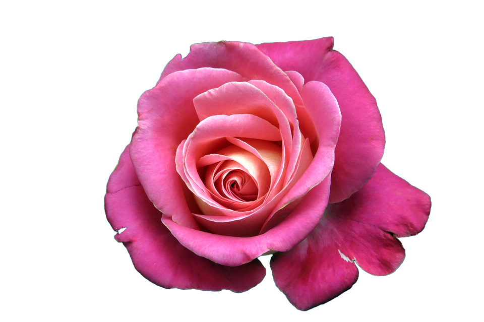 Flower Rose · Free Image On Pixabay