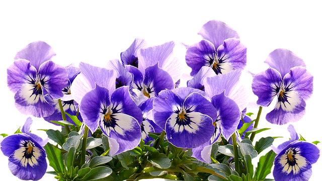Spring Pansy Mother S Day 183 Free Image On Pixabay