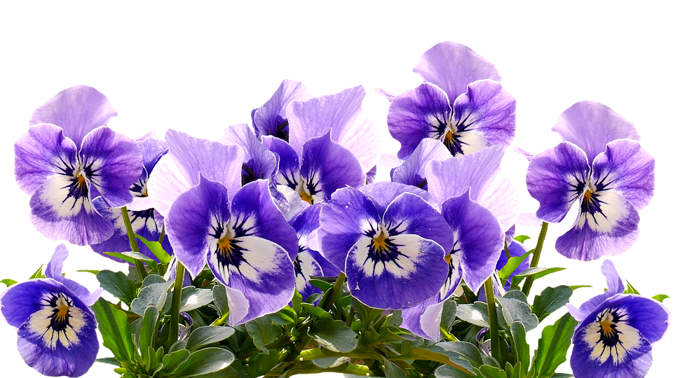 Spring pansy mothers day free image on pixabay spring pansy mothers day flowers blossom bloom mightylinksfo