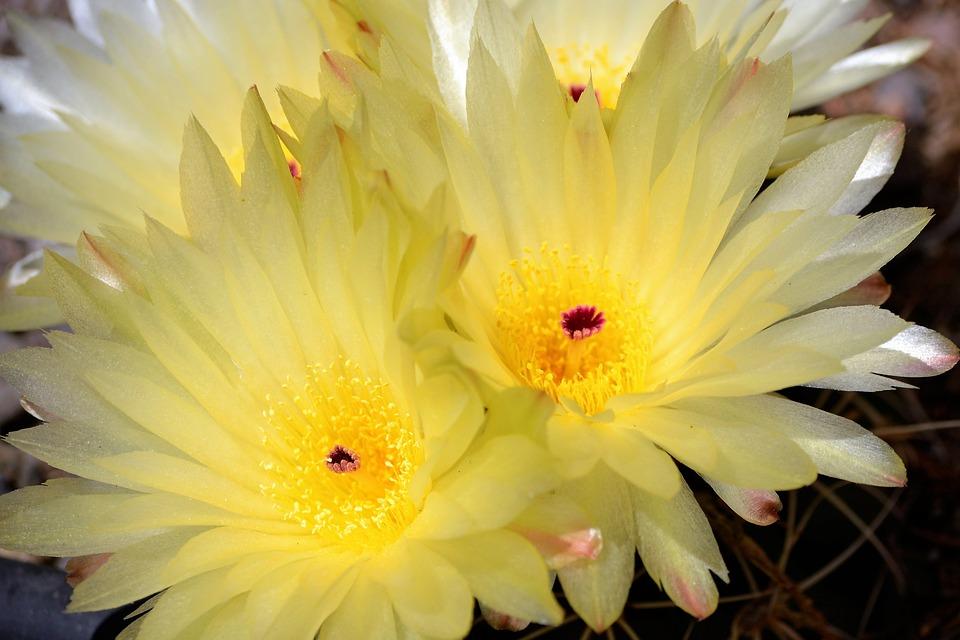 Cactus Garden Spring Flowering Free Photo On Pixabay