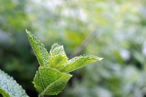 Peppermint, Garden, Green, Leaves