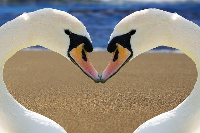 Free Photo: Swan, Heart, Love, Bill, Beach