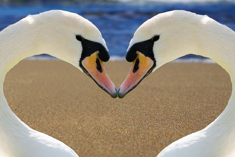 Cigno, Cuore, Amore, Bill, Spiaggia, Romanticismo