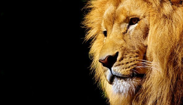 Lion, Wild Animal, Dangerous, Animal