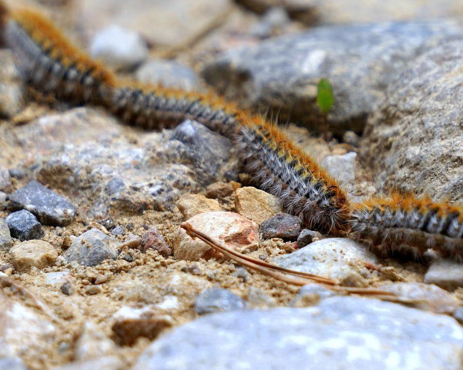 caterpillars-2328288_960_720.jpg