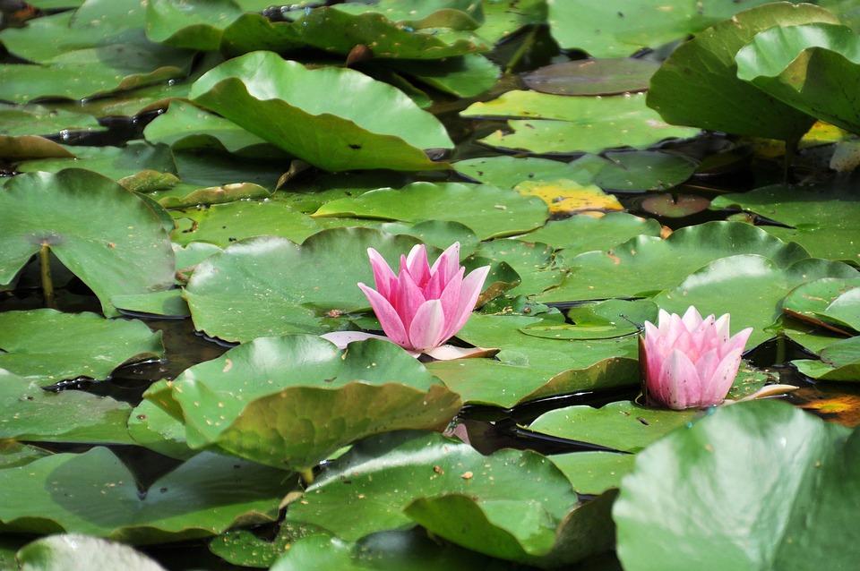 Seerosen Seerosenteich Teich Kostenloses Foto Auf Pixabay