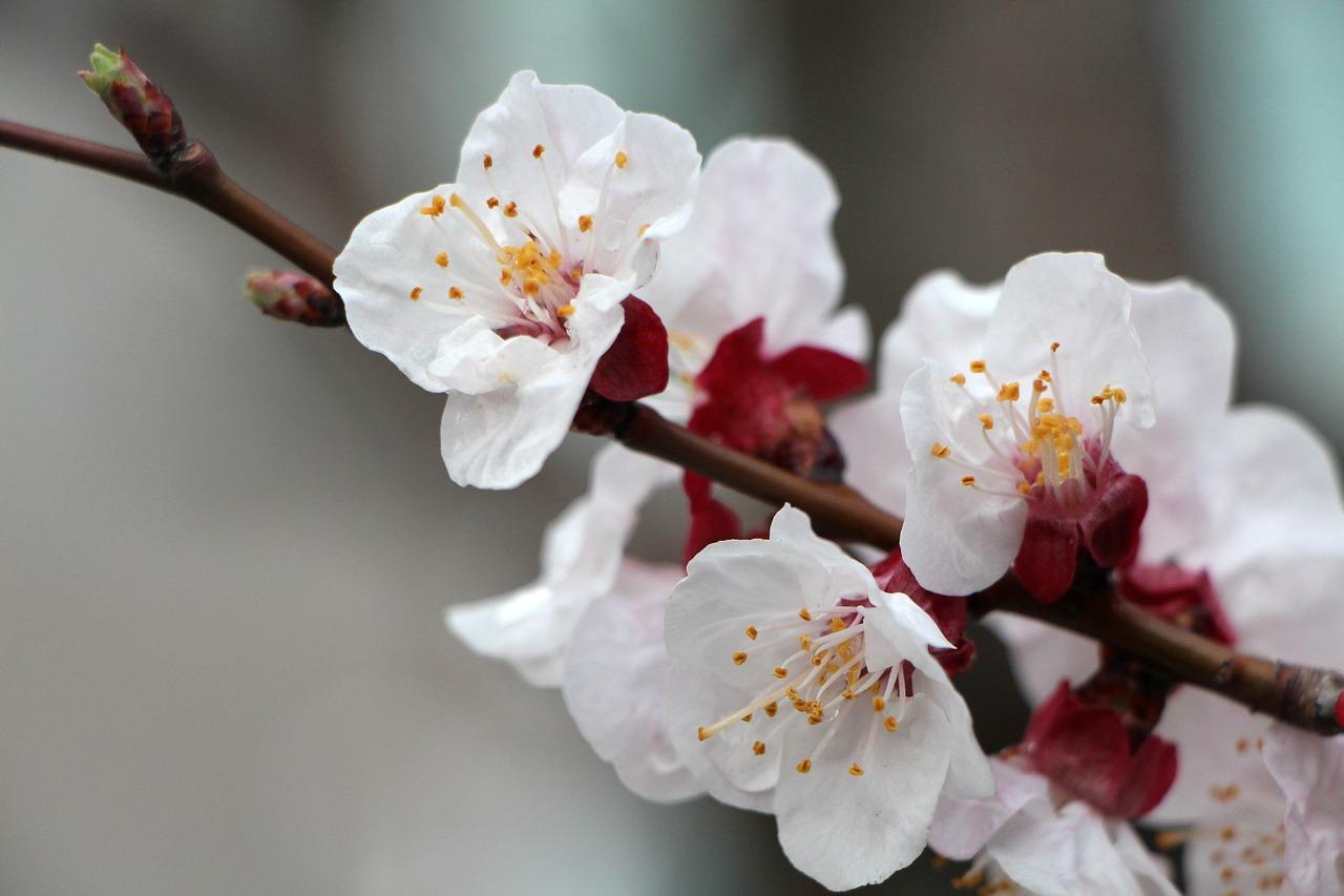 деталей фото цветущей ветки сливы представляла себе