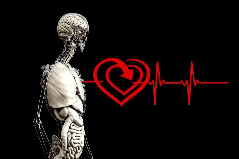 Anatomía Humano Corazón Frecuencia · Imagen gratis en Pixabay