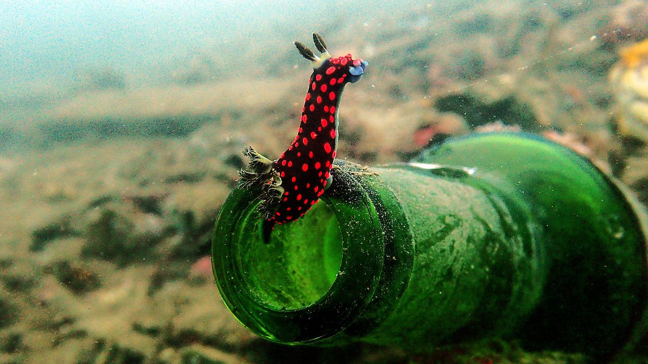 nembrotha nudibranch on the mouth of a glass drink bottle