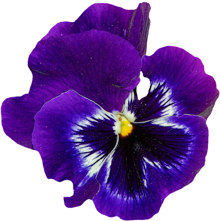 pansy spring flower 183 free image on pixabay