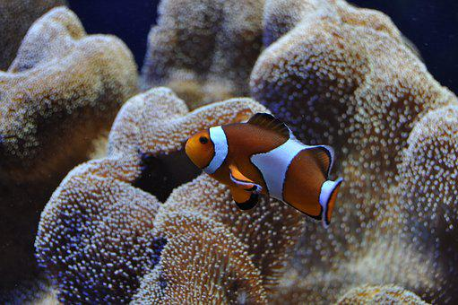 Clown Fish, Nemo, Underwater World, Reef