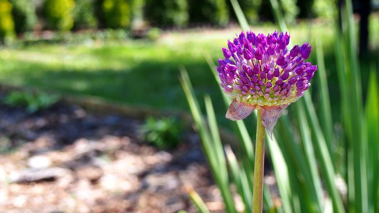 фото цветение чеснока это важная