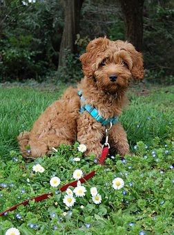 Labradoodle Puppies for sale in South Carolina
