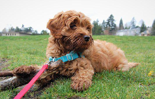 Labradoodle Puppies for sale in Montana